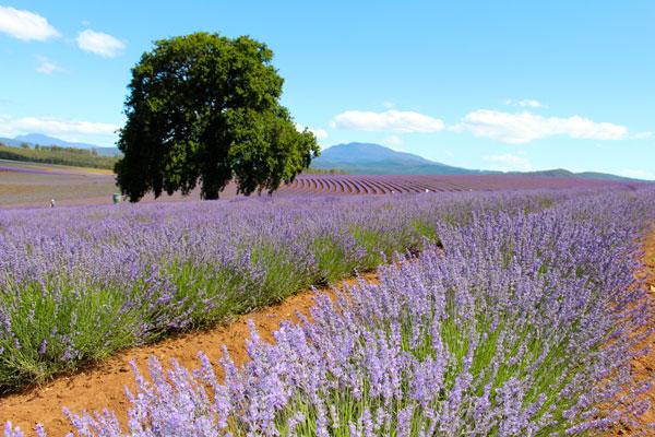 #lavenderbridestowe