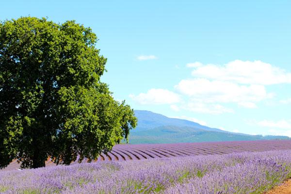 #lavender bridestowe