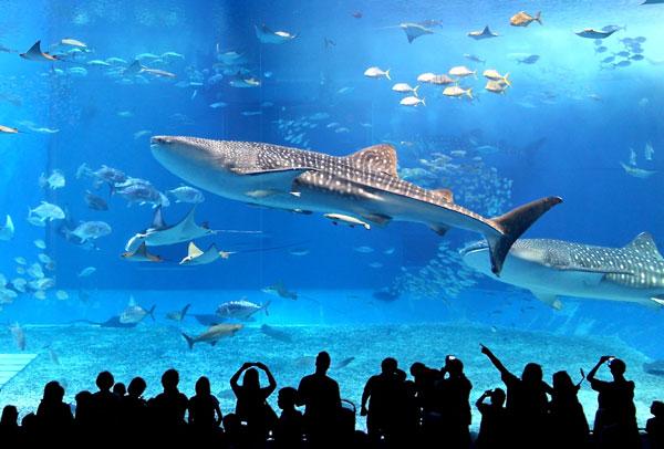 Okinawa Churaumi Aquarium whale shark